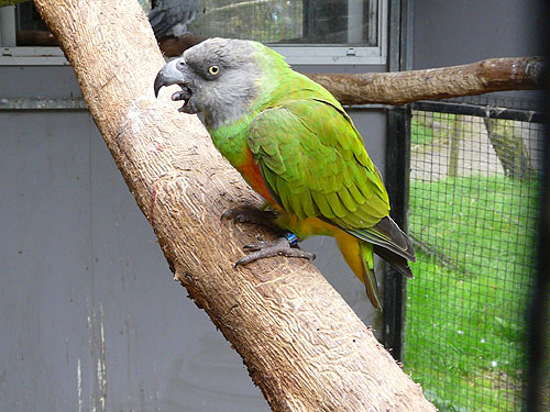photo Senegal parrot / <span class='cursive'>Poicephalus senegalus</span>