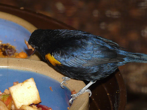 Golden-sided euphonia