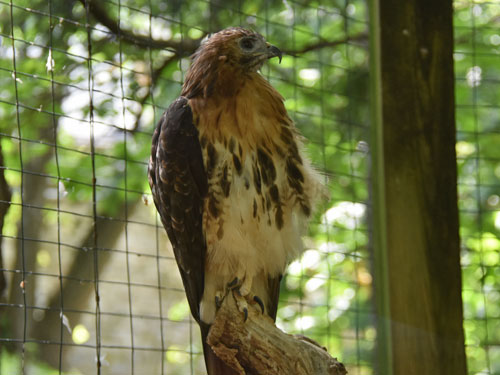 Eastern red-tailed hawk