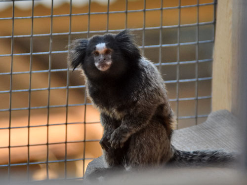 photo Black-eared marmoset / <span class='cursive'>Callithrix penicillata</span>