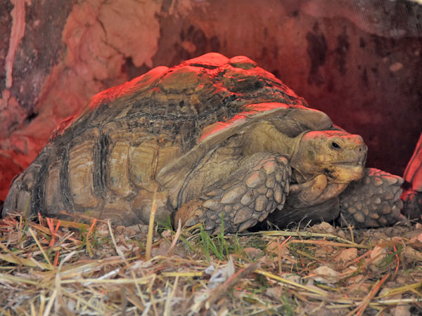 photo Centrochelys sulcata / African spurred tortoise