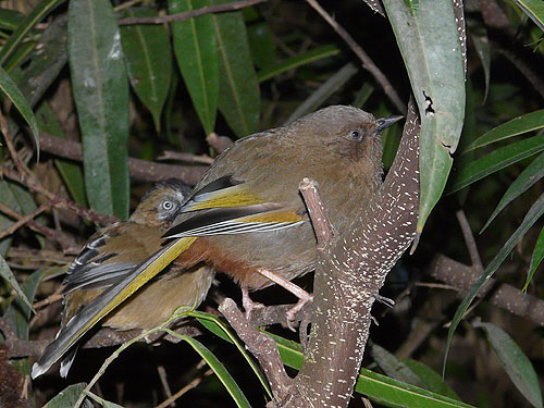 Elliot's laughing thrush
