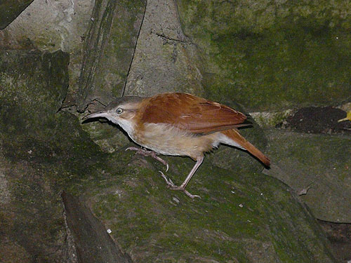 Pale-legged hornero
