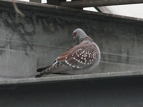 photo Speckled pigeon / <span class='cursive'>Columba guinea</span>