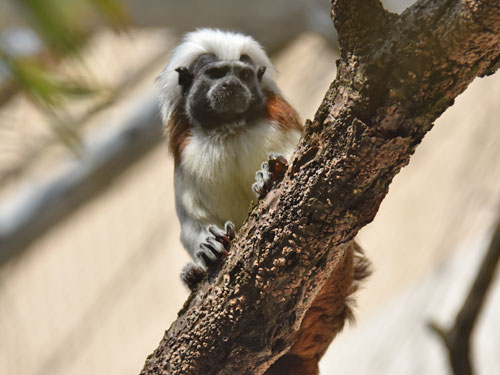 photo Cotton-top tamarin / <span class='cursive'>Saguinus oedipus</span>