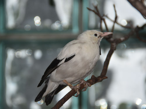 photo Wattled starling / <span class='cursive'>Creatophora cinerea</span>