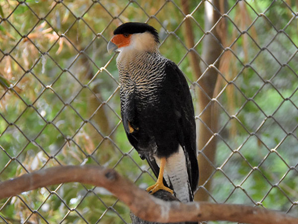 Crested/common caracara