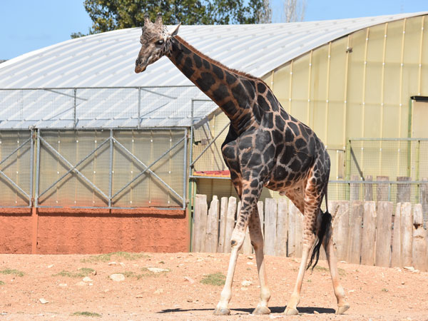 photo Baringo giraffe / <span class='cursive'>Giraffa camelopardalis rothschildi</span>