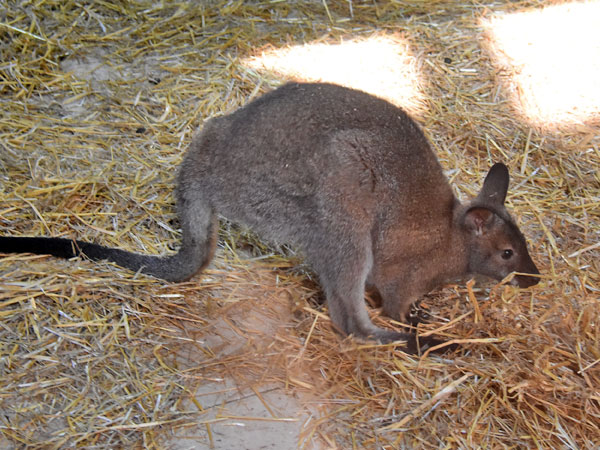 Red-necked wallaby / Macropus rufogriseus<br> Total: 112