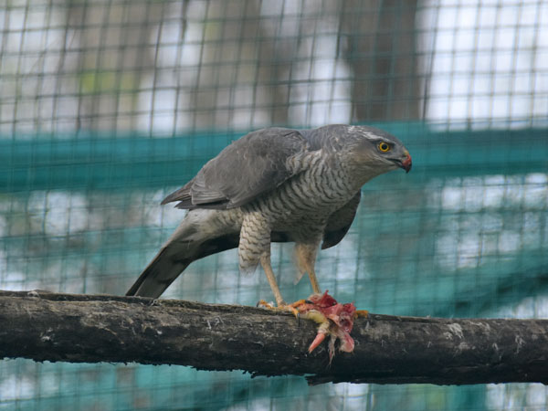 photo Levant sparrowhawk / <span class='cursive'>Accipiter brevipes</span>