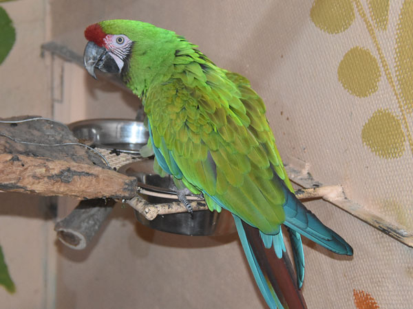 photo Ara militaris / Military macaw