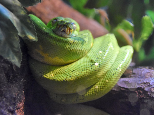 photo Green tree python / <span class='cursive'>Morelia viridis</span>