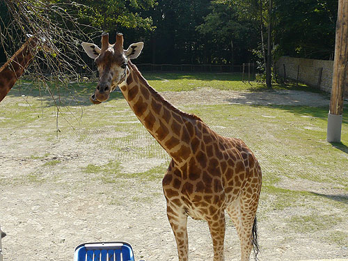 photo Kordofan giraffe / <span class='cursive'>Giraffa camelopardalis antiquorum</span>