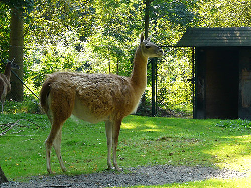 photo Guanaco / <span class='cursive'>Lama guanicoe</span>