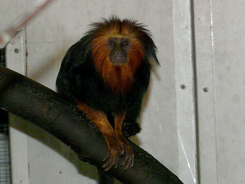 Golden-headed tamarin