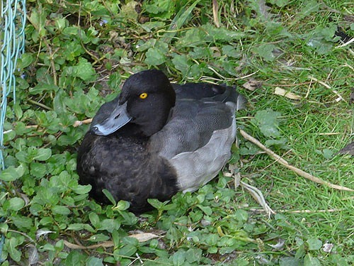 photo Scaup / <span class='cursive'>Aythya marila</span>