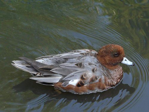 photo Eurasian wigeon / <span class='cursive'>Anas penelope</span>
