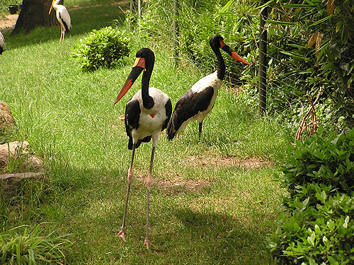 photo Saddle-billed stork / <span class='cursive'>Ephippiorhynchus senegalensis</span>
