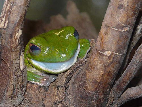 photo New Guinea tree frog / <span class='cursive'>Litoria infrafrenata</span>