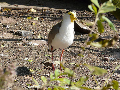 photo Masked lapwing / <span class='cursive'>Vanellus miles</span>