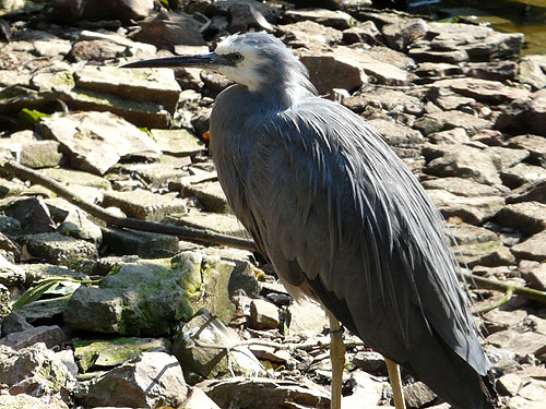 photo White-faced heron / <span class='cursive'>Egretta novaehollandiae</span>