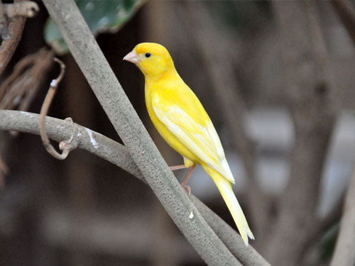 Common canary