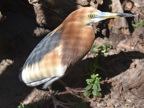 photo Javan pond heron / <span class='cursive'>Ardeola speciosa</span>