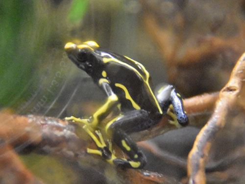 Yellow-and-blue poison dart frog