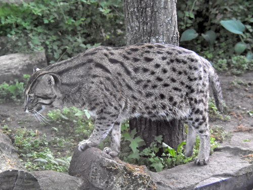 photo Fishing cat / <span class='cursive'>Prionailurus viverrinus</span>