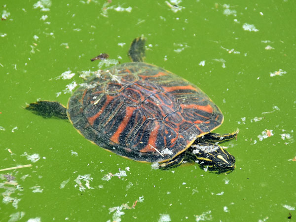 photo American red-bellied turtle / <span class='cursive'>Pseudemys nelsoni</span>