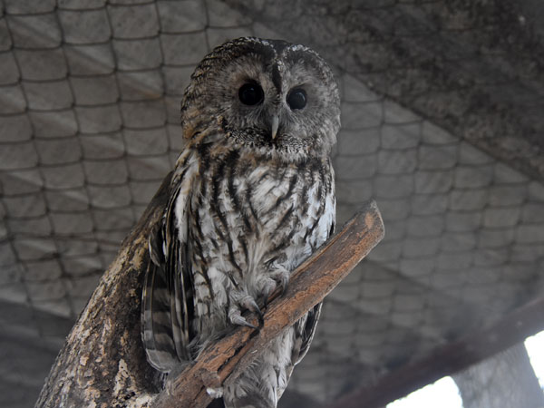 photo Tawny owl / <span class='cursive'>Strix aluco</span>