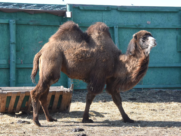 Bactrian camel / Camelus bactrianus<br> Total: 131