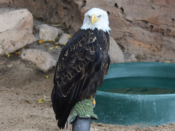 photo Bald eagle / <span class='cursive'>Haliaeetus leucocephalus</span>
