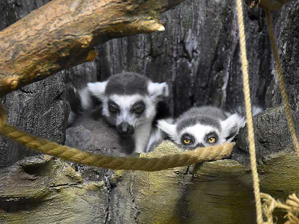 Ring-tailed lemur / Lemur catta<br> Total: 158
