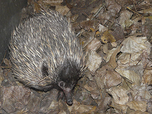 photo Short-nosed echidna / <span class='cursive'>Tachyglossus aculeatus aculeatus</span>