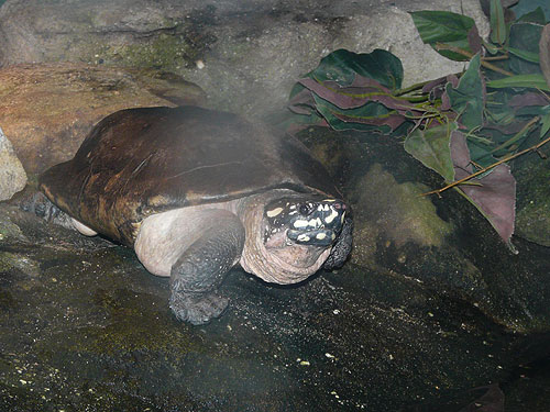 Spotted pond turtle