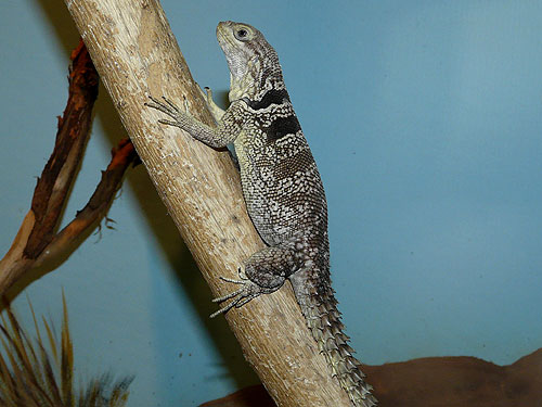 photo Madagascar spiny-tailed iguana / <span class='cursive'>Oplurus cuvieri cuvieri</span>