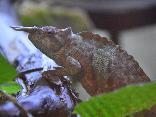 Cameroon two-horned mountain chameleon