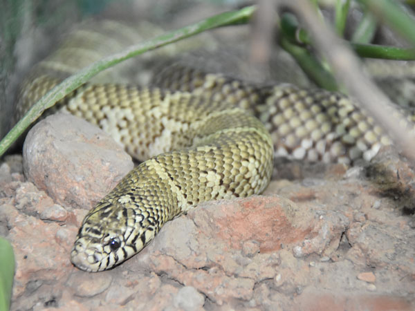 photo Florida kingsnake / <span class='cursive'>Lampropeltis getula floridana</span>