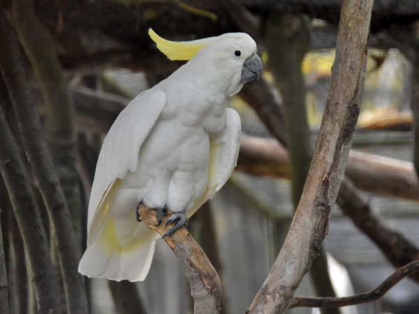 Lesser sulphur-crested cockatoo