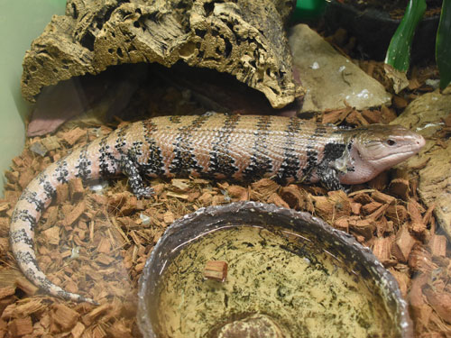 New Guinea blue-tongued skink