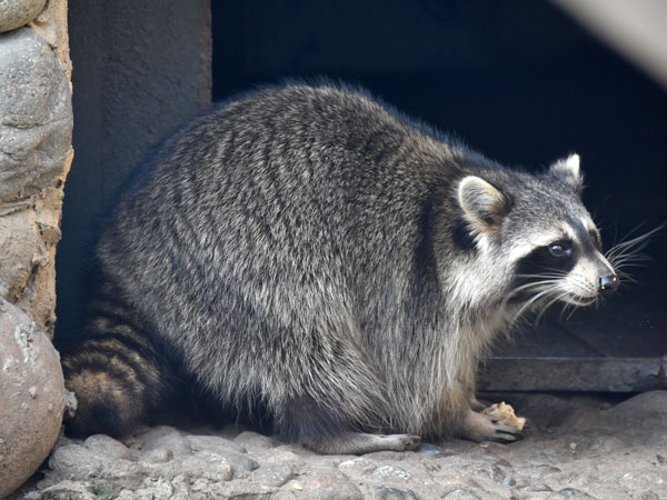 Raccoon / Procyon lotor<br> Total: 100