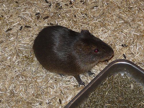 photo Greater guinea pig / <span class='cursive'>Cavia magna</span>