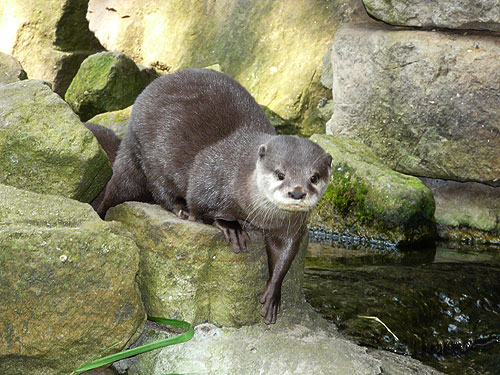 photo Aonyx cinereus / Oriental small-clawed otter