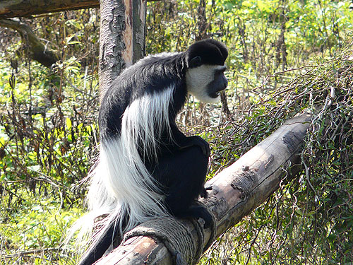 Eastern black-and-white colobus