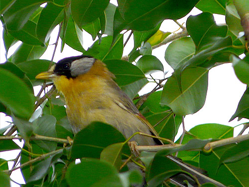 photo Silver-eared mesia / <span class='cursive'>Leiothrix argentauris</span>