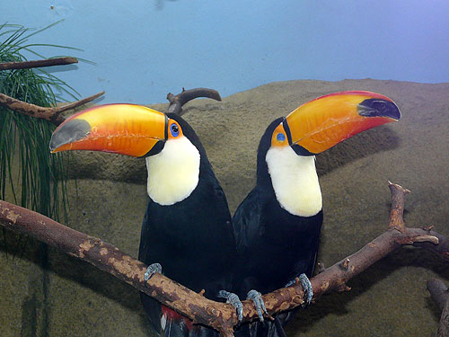 photo Toco toucan / <span class='cursive'>Ramphastos toco</span>