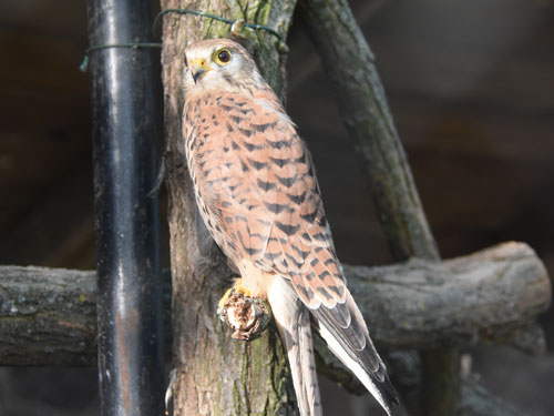 photo Kestrel / <span class='cursive'>Falco tinnunculus</span>