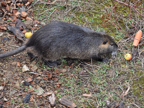 photo Nutria / <span class='cursive'>Myocastor coypus</span>