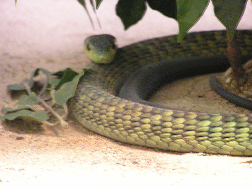 West African green mamba